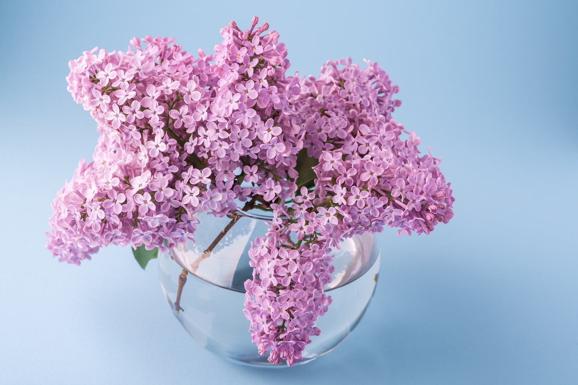 Pink, lilac flowers in a clear vase, on a blue-ish background.